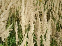 Dry grass in the field - background royalty free stock image