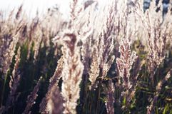 Dry grass in the field royalty free stock photo
