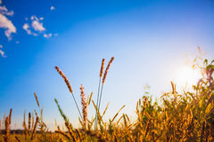 Dry grass field scene Royalty Free Stock Photo