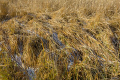 Dry grass. First snow on the high dry grass royalty free stock image
