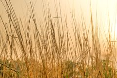 Dry grass flower field on morning with sunlight Stock Photos
