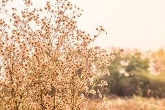 Dry grass flower field on morning with sunlight Stock Photography