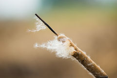 Dry grass flower with flying seeds Stock Photo