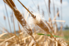 Dry grass flower with flying seeds Royalty Free Stock Images