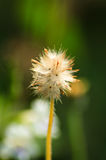 Dry grass flower Stock Image