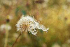 Dry grass flower nature of soft focus.  Stock Image