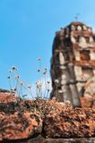 Dry grass flower in the old temple Royalty Free Stock Photo