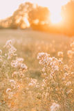 Dry grass flower with sun light, close up. Beautiful summer day in the field Royalty Free Stock Image
