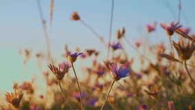 Dry Grass With Flowers Agains Blue Sky stock video