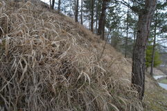 Dry grass Stock Image