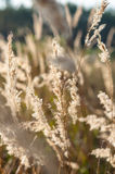 Dry grass in the forest at sunset in the warm  sun Royalty Free Stock Photo