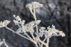 Dry grass in the frost Stock Photography