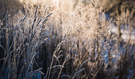 Dry grass in frost. Royalty Free Stock Image
