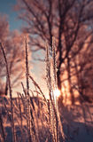 The dry grass in frost Stock Photo