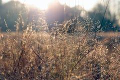 Dry grass in golden sunlight Stock Photos