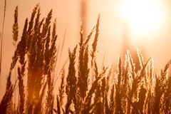 Dry grass on the golden sunset as background Stock Image