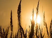 Dry grass on the golden sunset as background Royalty Free Stock Photos