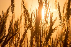 Dry grass on the golden sunset as background Stock Photography