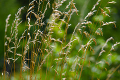 Dry grass on a green background. Dry grass close up on a green background Stock Image