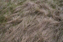 Dry grass. Green grass breaks through last year's dry royalty free stock photo