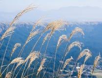 Dry grass growing at the north rim of Aso volcanic caldera. In Aso-Kuju National Park - Kumamoto prefecture, Japan stock photo