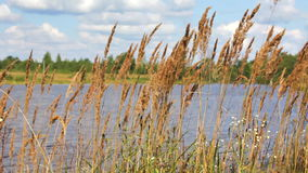 Dry grass growing on river bank waves on a wind. Dry grass growing on the river bank waves on a wind stock video footage