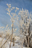 Dry grass in hoarfrost against the sky Royalty Free Stock Photo