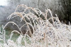 Dry grass in hoarfrost Stock Images