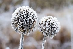 Dry grass in hoarfrost Stock Image