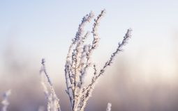 Dry grass in the hoarfrost Stock Image