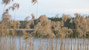 Dry grass on the lake stock video footage