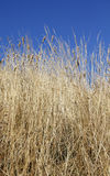 Dry grass. Large dry grass in front of blue sky Stock Image