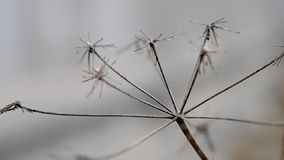 Dry grass macro on blurred gray background stock video footage