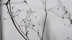 Dry grass macro on blurred gray background stock video