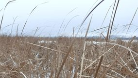 Dry the grass marsh winter reed nature beautiful landscape Royalty Free Stock Image