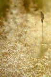 Dry grass  in meadow and dew Stock Image