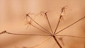 Dry grass moving in the wind in the blurry red brown background. Close-up. The dried stems due to drought close-up stock footage