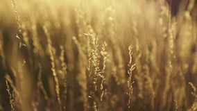 Dry grass moving with the wind, bokeh circles dancing in the blurry background stock video footage