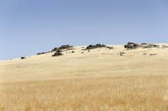 Dry grass near Fresno. In California mountains Royalty Free Stock Image