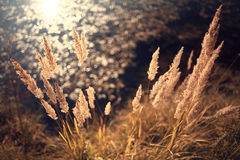 Dry grass near water Royalty Free Stock Image