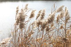 Dry grass near water. Dry grass at the waters specifically for the warm autumn Royalty Free Stock Photography