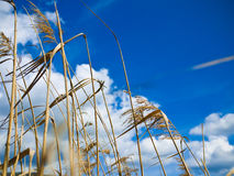 Dry grass over blue sky Stock Image