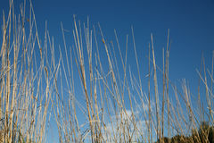 Dry grass over blue sky stock photography