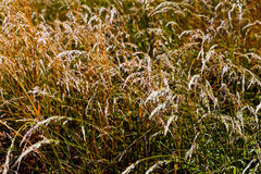Dry grass panicles Stock Photography
