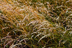 Dry grass panicles Royalty Free Stock Photos