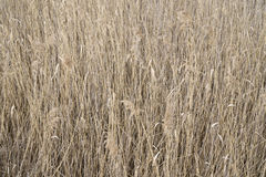 Dry grass pattern. Yellow dry grass pattern background Stock Photography