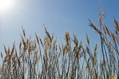Dry grass plants Stock Photography