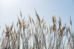 Dry grass plants against the sun Stock Images