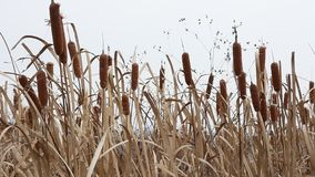 Dry grass reed on the meadow. Autumn time stock video footage