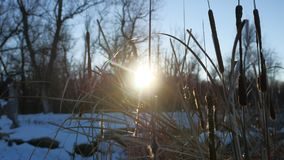 Dry grass reeds in the swamp snow winter nature sun glare Royalty Free Stock Image